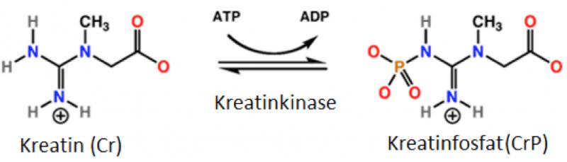 Creatine phosphate shuttle